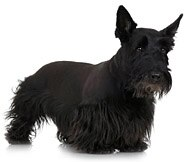 The Scottish Terrier Dog Breed