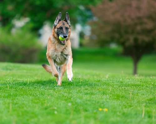 German Shepherd running with a tennis ball in his mouth at the park.