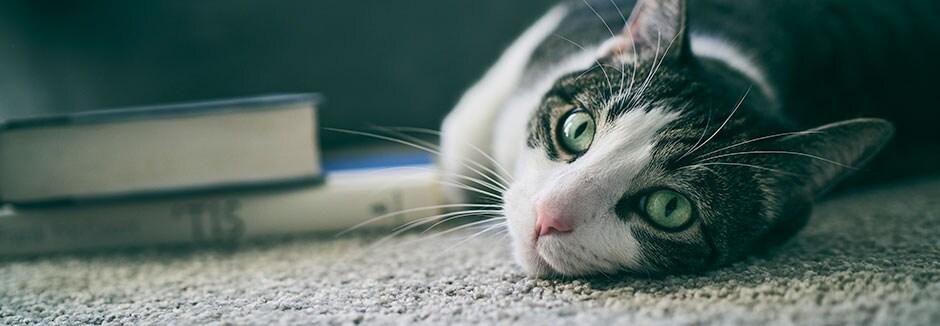 Velika maca zrela cijev